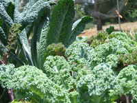 Mixed_kale