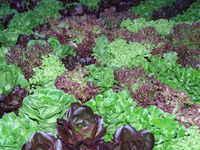 Premium_lettuce_mix