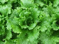 Tropicana_lettuce