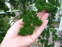 Parsley_curley_leaf