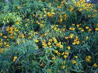 Flowering_french_tarragon