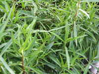 French_tarragon