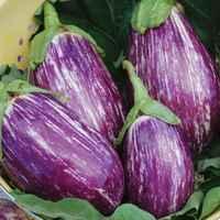 Listada-de-gandia-eggplant
